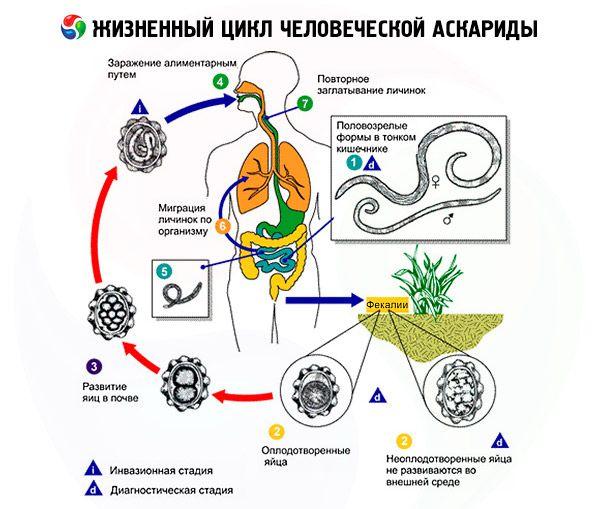 Ascaris Humain : Structure Et Cycle De Vie